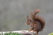 Red squirrel (Sciurus vulgaris) on a log, France