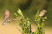 Chaffinch (Fringilla coelebs) pair on a boxwood branch, France