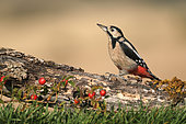 Great woodpecker (Dendrocopos major) on a stump, Sologne, France