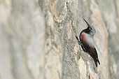Wall creeper (Tichodroma muraria) male in winter on a dyke wall, Loiret, France