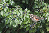 Redwing (Turdus iliacus) in ivy, Brittany, France