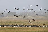 Light-bellied brent goose (Branta bernicla hrota), group on the ground, Bay of Mont St Michel, Normandy, France