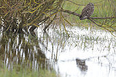 Short eared owl (Asio flammeus) on a branch above the water in winter, Bessin and Cotentin Regional Park, Manche, Normandy, France