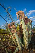 Gordon's Hoodia (Hoodia gordonii) growing amongst Short-Thorn Pomegranates (Rhigozum brevispinosum). Nitani Game Reserve. Northern Tuli Game Reserve. Botswana. Hoodia has been known for many years as an appetite suppressant.
