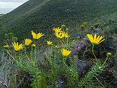 Lace-leaf euryops, mountain resin bush, bergharpuisbos or geelmagriet (Euryops abrotanifolius). Fernkloof Nature Reserve, Hermanus, Whale Coast, Overberg, Western Cape. South Africa