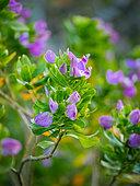 September bush, septemberbossie, augustusbossie or blouertjie (Polygala myrtifolia) flower. Hermanus, Overberg, Whale Coast. Western Cape. South Africa