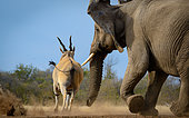 Common eland , also known as the southern eland or eland antelope (Taurotragus oryx) being chased away from a waterhole by an African bush elephant (Loxodonta africana). Mashatu Game Reserve. Northern Tuli Game Reserve. Botswana