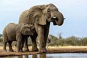 African bush elephant (Loxodonta africana) cow drinking and calf suckling. Mashatu Game Reserve. Northern Tuli Game Reserve. Botswana