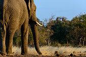 African bush elephant (Loxodonta africana). Mashatu Game Reserve. Northern Tuli Game Reserve. Botswana