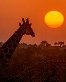 South African giraffe (Giraffa camelopardalis giraffa) at sunset. Mashatu Game Reserve. Northern Tuli Game Reserve. Botswana