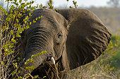 African bush elephant (Loxodonta africana). Kruger National Park. Mpumalanga. South Africa.