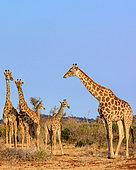 South African giraffe or Cape giraffe (Giraffa camelopardalis giraffa). Madikwe Game Reserve. North West Province. South Africa