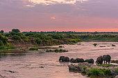 African bush elephant or African Elephant (Loxodonta africana crossing the Mara River. Serengeti National Park. Tanzania
