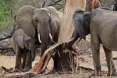 African bush elephant (Loxodonta africana) stripping bark from a tree (elephant dammage). Ruaha National Park. Tanzania