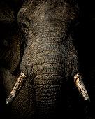 African bush elephant (Loxodonta africana), or African savanna elephant. Mpumalanga. South Africa.
