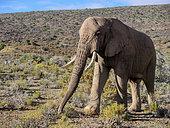 African bush elephant or African savanna elephant (Loxodonta africana). Western Cape. South Africa.