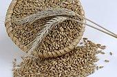 Triticale grains, corn composite of Rye and Wheat, Triticalekoerner, mixed grain of Rye and Wheat, inside, Studio