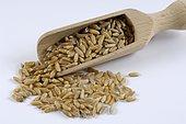 Kamut (Triticum turgidum polonicum), wheat variety, wheat