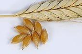 Wild einkorn wheat (Triticum baeoticum thaoudar), einkorn, wheat grain