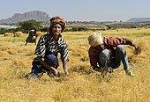 Farmers harvesting Teff (Eragrostis tef) with the sickle, Hawzen, Tigray, Ethiopia, Africa