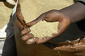 White teff grain in the hand of a person on the market of Boditti Ethiopia