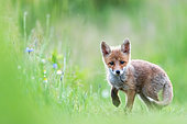 Red fox (Vulpes vulpes) young in the grass, Slovakia