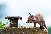 Red fox (Vulpes vulpes) young on wall, Slovakia