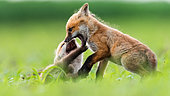 Red fox (Vulpes vulpes) youngs playing in the grass, Slovakia