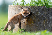 Red fox (Vulpes vulpes) young on a wall, Slovakia