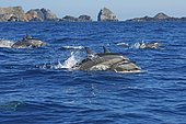 Spinner dolphins (Stenella longirostris), jump out of the water, Dolphin School, Ogasawara Islands, Japan, Asia