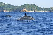 Spinner dolphin (Stenella longirostris), jumps out of the water, Ogasawara Islands, Japan, Asia