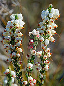 Roughriver Heath (Erica grisbrookii) in bloom, Napier Mountain Conservancy, Overberg. Western Cape. South Africa