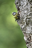 Blue tit (Cyanistes caeruleus) perched at the entrance hole of a nest box, England
