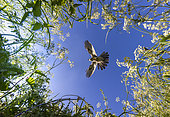 Cuckoo (Cuculus canorus)in flight above cow parsley, England