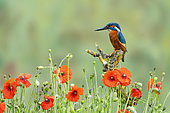 Kingfisher (Alcedo atthis) perched amongst poppies (Papaver rhoeas), England