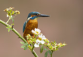 Kingfisher (Alcedo atthis) perched amongst flowers, England