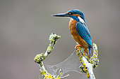 Kingfisher (Alcedo atthis) perched on a branch, England