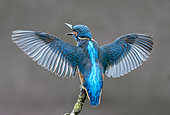 Kingfisher (Alcedo atthis) perched on a branch with his wings opened