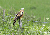 Red kite (Milvus milvus) perched on a post, England
