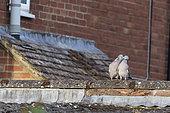 Woodpigeon (Columba palumbus) male feeding female, England