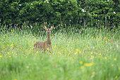 Roe deer (Capreolus capreolus) standing in a meadow, England