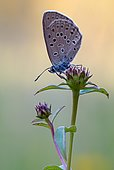 Mountain Alcon blue (Phengaris rebeli) on plant, Bavaria, Germany, Europe