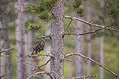 Common Buzzard (Buteo buteo) on a branch in the rain, Navarra, Spain