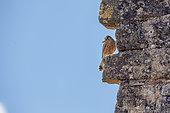 Lesser Kestrel (Falco naumanni) with a cicada in its beak on a wall, Hérault, Occitanie, France