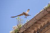 Lesser kestrel (Falco naumanni) in flight over a roof, Hérault, Occitanie, France