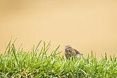 Eurasian Linnet (Carduelis cannabina) female on the grass, Navarra, Spain