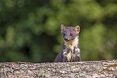 Pine marten (Martes martes) female, Navarra, Spain