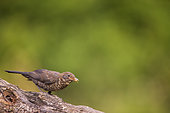 Blackbird (Turdus merula) female on a branch, Navarra, Spain