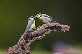 Blue tit (Cyanistes caeruleus) feeding one of its chick on a branch, Navarra, Spain