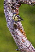 Great tit (Parus major) chick asking for food on a branch, Navarra, Spain